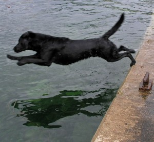 Labrador_Retriever_dive
